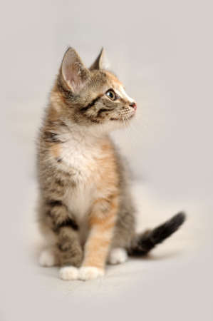 1 2 month: tricolor kitten Stock Photo