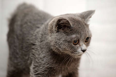 Gray British kitten Stock Photo - 15352942