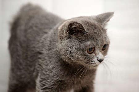 Gray British kitten Stock Photo - 15352942