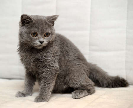Gray British kitten Stock Photo - 15352925