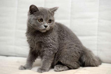 Gray British kitten Stock Photo - 15352908
