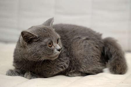 Gray British kitten Stock Photo - 15352840
