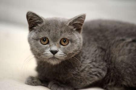 British gray kitten photo
