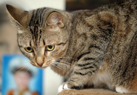 Tabby Cat with Big Paws photo