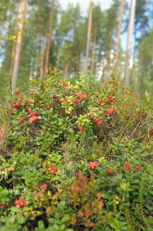 mountain cranberry: Cowberry in wood  Stock Photo