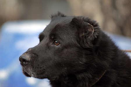 menacing: Black Central Asian sheep-dog