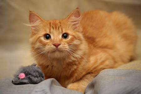 ginger kitten with a mouse toy photo