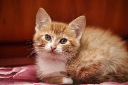 litle: ginger kitten Stock Photo