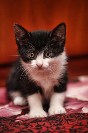 black and white kitten on a red background photo