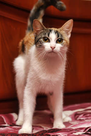 calico whiskers: tricolor  cat