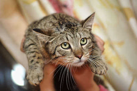 tabby cat in hands Stock Photo - 16025540
