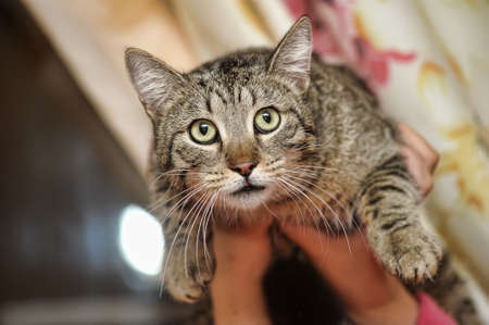 tabby cat in hands Stock Photo - 16025615