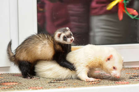 unrelated: two ferrets play
