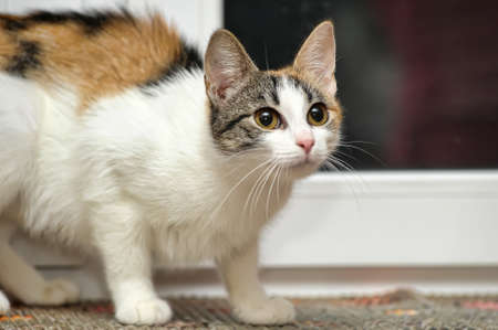 calico whiskers: tricolor haired cat