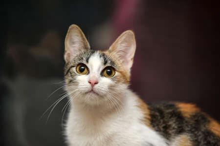 tricolor haired cat photo
