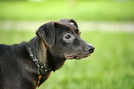 Black mixed breed portrait Stock Photo - 15420061