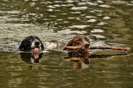non urban 1: Two dogs swimming Stock Photo