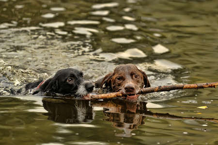 Two dogs swimming Stock Photo