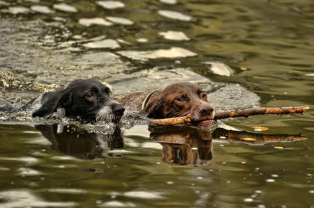Two dogs swimming Stock Photo - 15478946