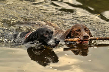 hunter playful: Two dogs swimming Stock Photo