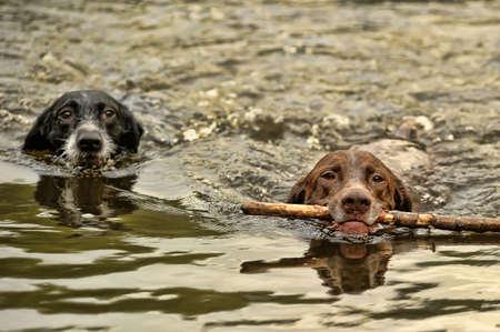 Dos perros que nadan photo