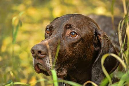 hunter playful: Deutsch Kurzhaar German Short-haired Pointing Dog