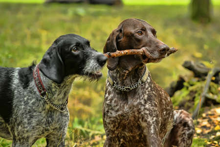 hunter playful: Two dogs
