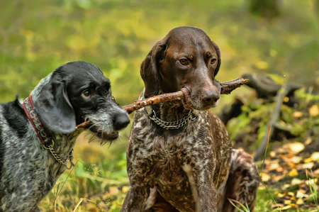 wirehaired: Two dogs