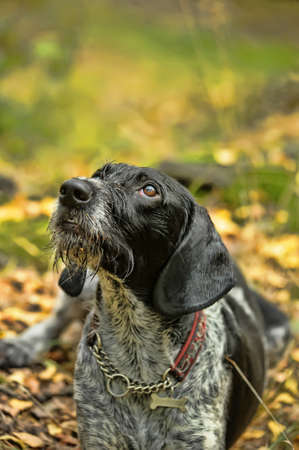 drahthaar: Pointer tedesco Wirehaired Archivio Fotografico