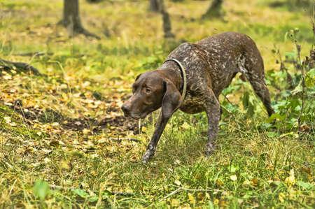Deutsch Kurzhaar alem�n de pelo corto Perro de muestra photo