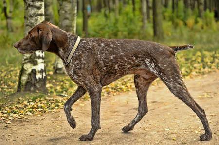 Deutsch Kurzhaar Deutsch Kurzhaar Hund
