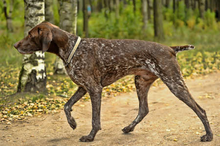 pointer dog: Deutsch Kurzhaar German Short-haired Pointing Dog