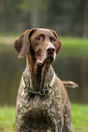 Deutsch Kurzhaar German Short-haired Pointing Dog photo
