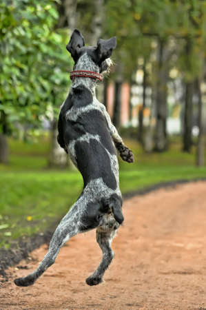 Pointer alem�n Wirehaired photo
