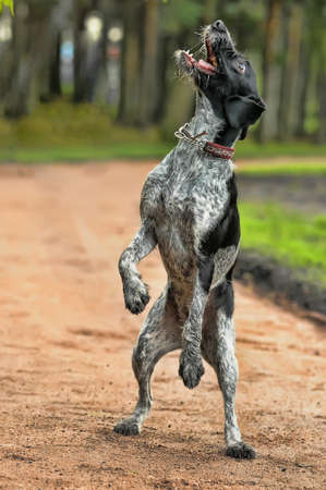 wirehair: German Wirehaired Pointer Stock Photo