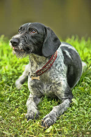 wirehaired: Drathaar Stock Photo