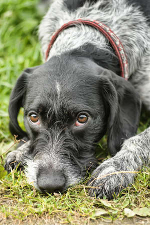 wirehair: Drathaar Stock Photo