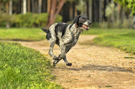 drahthaar: German Wirehaired Pointer Stock Photo