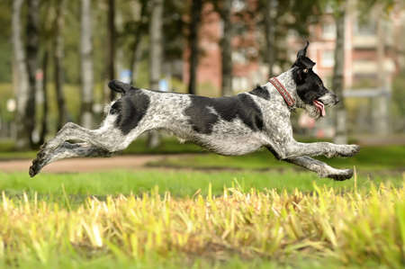 German Wirehaired Pointer Stock Photo - 15478668
