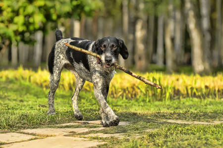 wirehaired: German Wirehaired Pointer Stock Photo