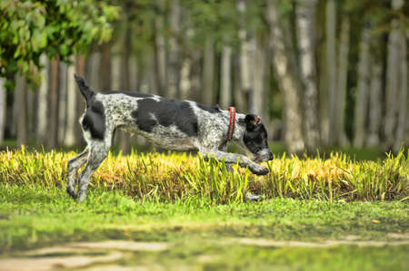 German Wirehaired Pointer Stock Photo