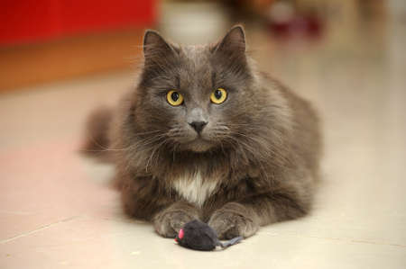 gray longhair cat photo