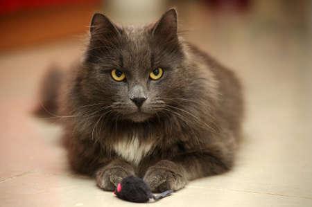 gray longhair cat Stock Photo