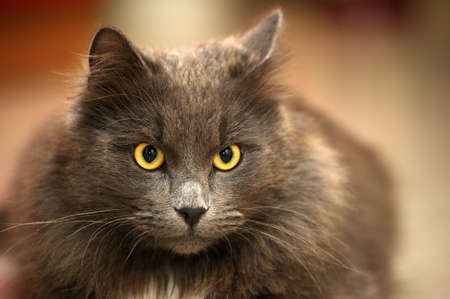 gray longhair cat Stock Photo - 15478346