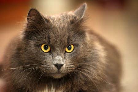 gray longhair cat Stock Photo - 15478346