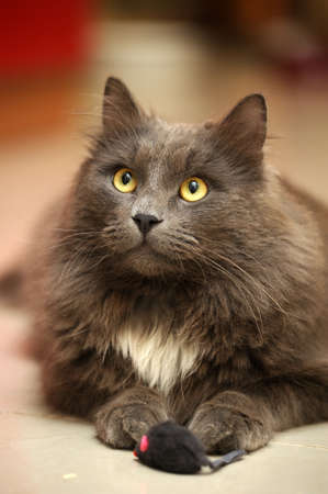 gray and white fluffy cat Stock Photo