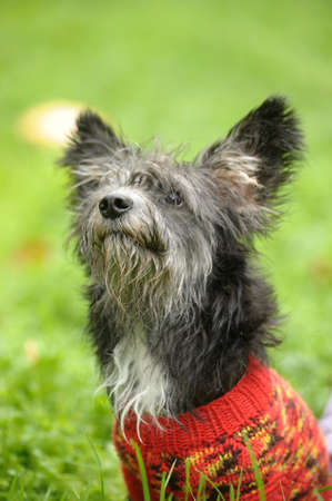 terrier in a sweater photo