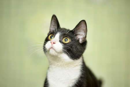 catlike: black and white cat