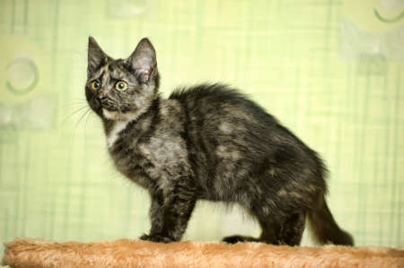 tortoiseshell: tortoiseshell kitten