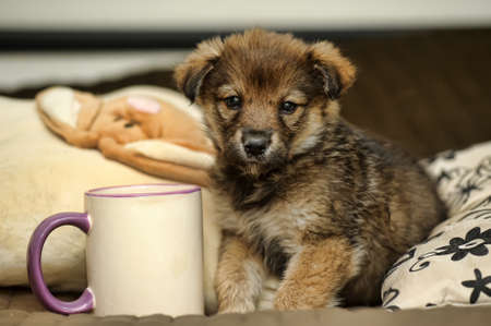 bred: Brown cute puppy Stock Photo